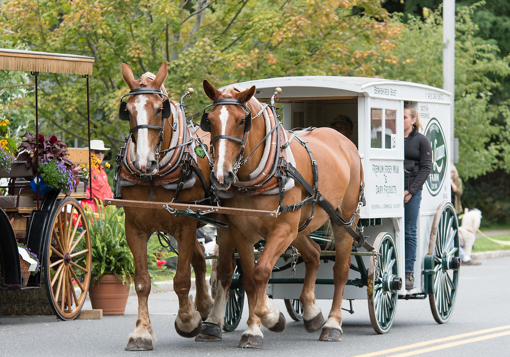 Tub Parade 2018. Barry Roberts driving Percheron geldings put to the Highlawn Farm milk wagon. Photo by Blue Moon Images: www.bluemoonimages.smugmug.com www.facebook.com/danabluemoonimages
